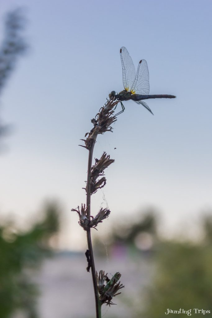 dragon-fly-vacaresti
